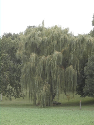Fast Growing Willows